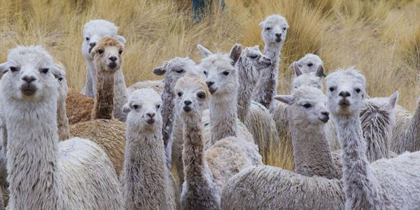 Everything You Need to Know About Alpacas