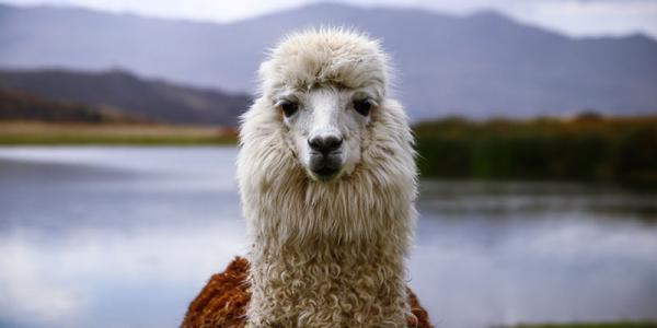 Is Alpaca Wool Sustainable?